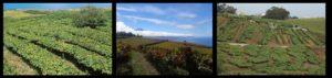 Weinanbau auf Teneriffa