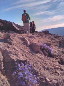 Teideveilchen auf unserer Teidewanderung